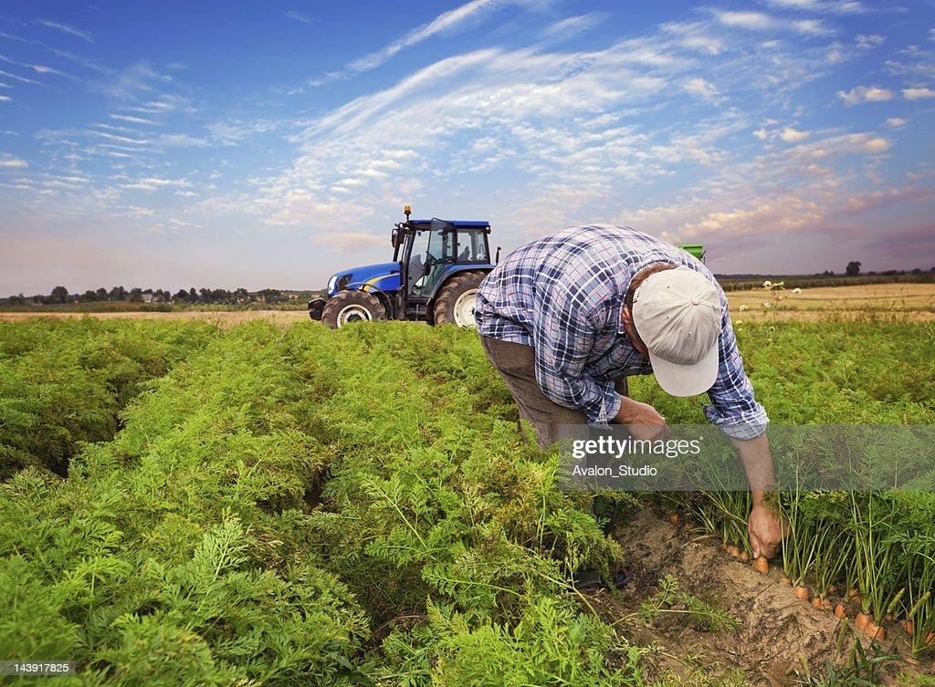 Plantation carrots : Stock Photo