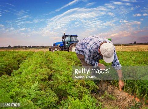 Plantation carrots