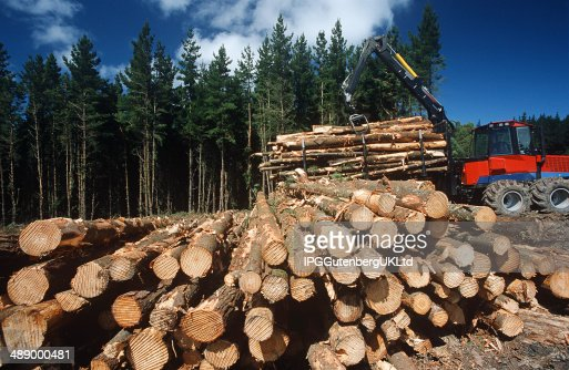 Plantation Eucalyptus Trees Being Harvested For Woodchipping Stock
