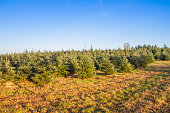 Plantation of coniferus trees - Christmas trees nursery