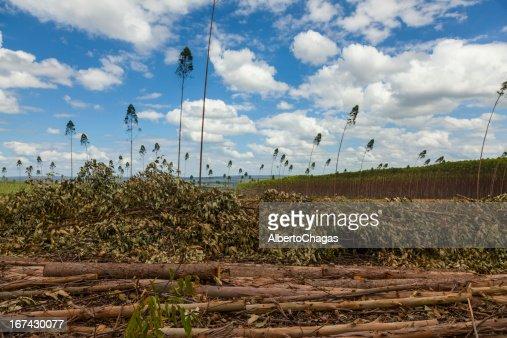 Plantation of eucalyptus tree : Stock Photo