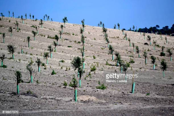 Plantation of olive trees in the field
