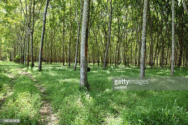 Plantation of rubber trees