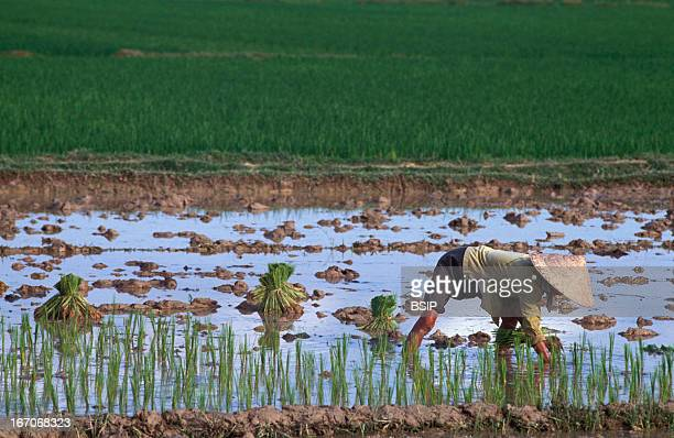 Plantation rice Planting rice in delta of the Mekong River in Vietnam