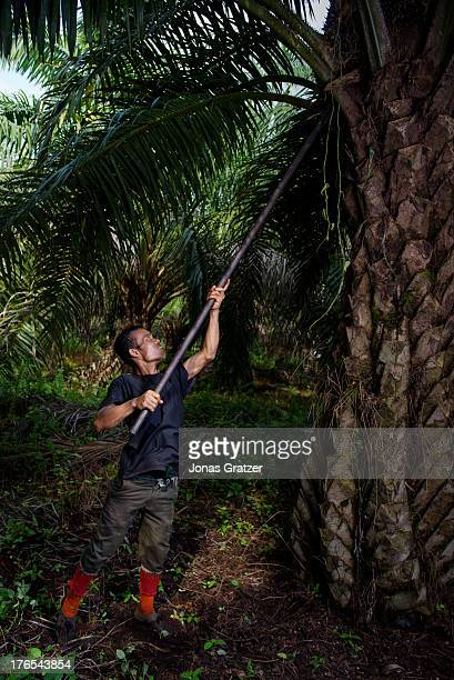 A plantation worker harvests some palm fruit that will be used for palm oil extraction A village of green revolution Dosan produces biofuels such as...