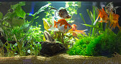 Planted Freshwater Aquarium close up view with red fishes