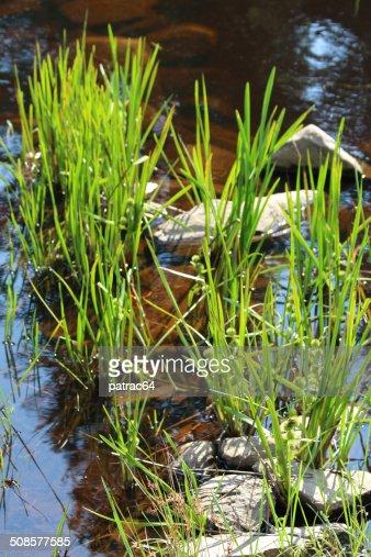 Plantes aquatique dans un étang : Stock Photo