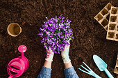 Planting a plant with gardening tools on fertile soil texture background seen from above, top view. Gardening or planting concept. Working in the spring garden.
