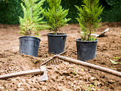 Planting evergreen tree at garden, no people