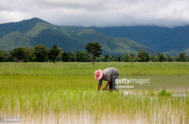 Pflanzen Sie Setzlinge mit Reis, Thailand, Südostasien.