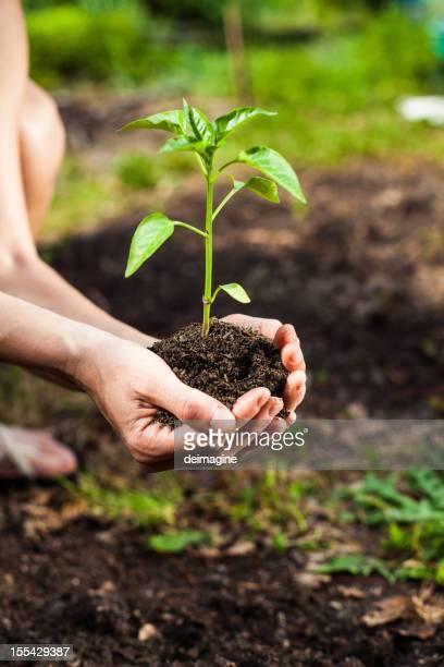 Planting Seedlings Vegetable Garden