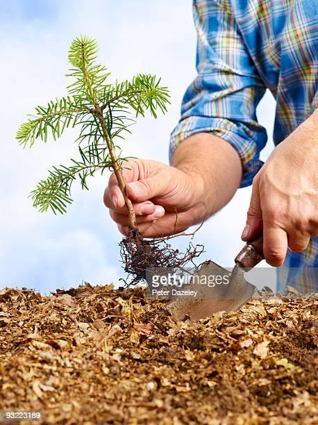 Planting spruce seedling.