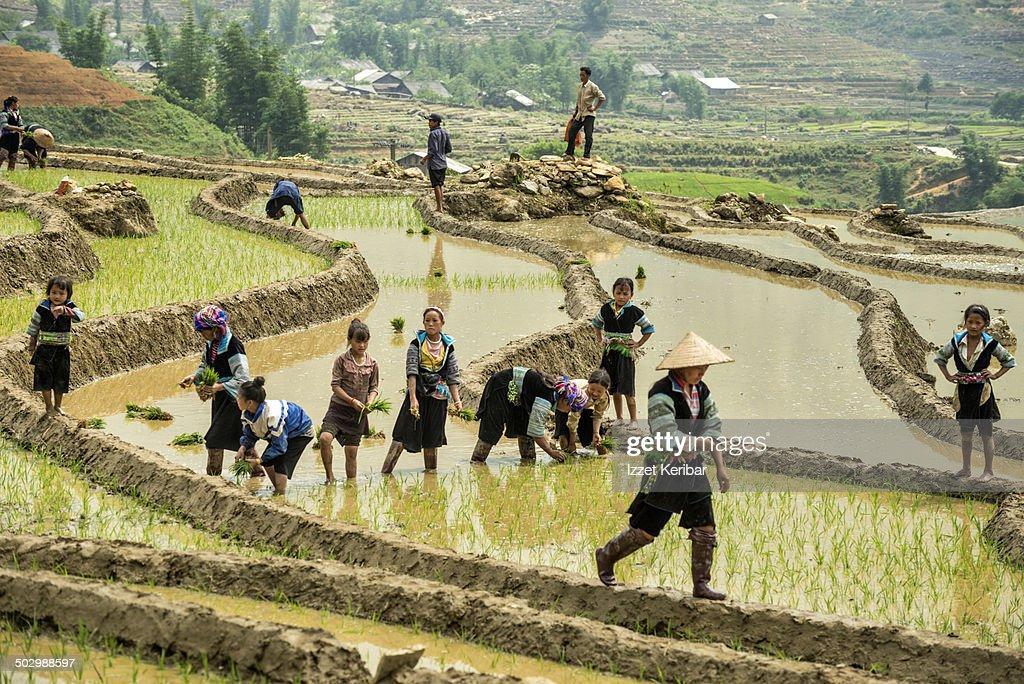 Planting the rice at Sapa Valley, Vietnam