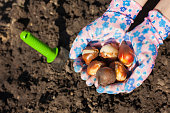 Gloved hands holding tulip bulbs before planting in the ground