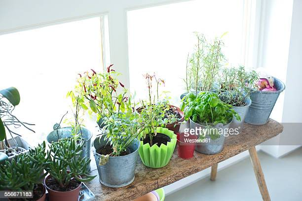 Plants and herbs at the window