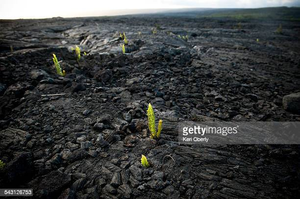 Plants begin to grow out of dried lava in Hawai?i Volcanoes National Park, Hawaii.