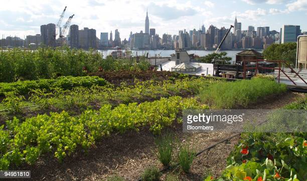 Plants grow on a rooftop farm in Greenpoint New York US on July 14 2009 Rooftop Farms has excellent views of the East River and the Manhattan skyline