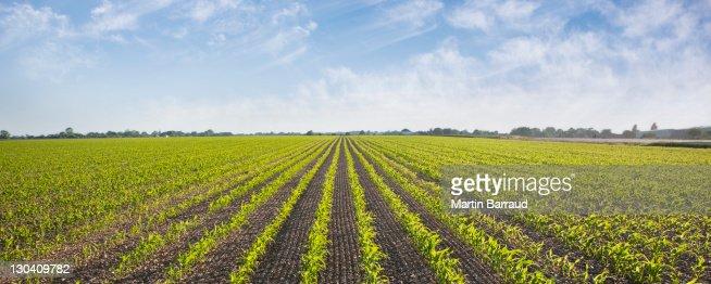 Vegetais crescer no campo : Foto de stock