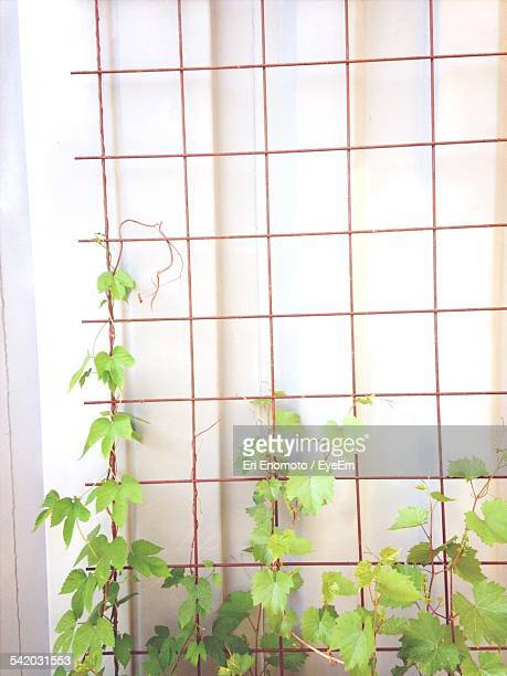 Plants Growing On Fence Against Wall