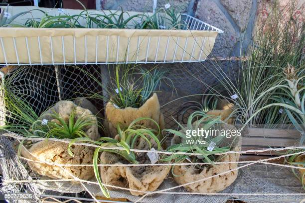 Plants in natural sponges for sale at 'sponge capital of the world' Tarpon Springs Florida United States