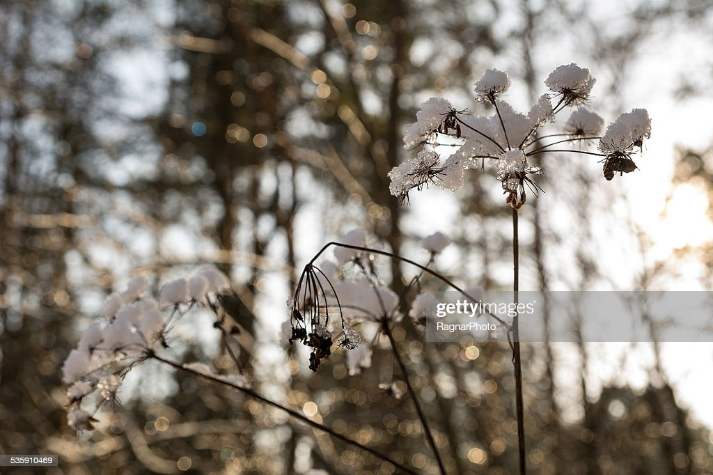 Plants in winter : Stock Photo