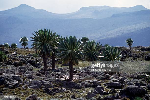 Plants of the Lobelia genus Sanetti Plateau Bale Mountains National Park Ethiopia