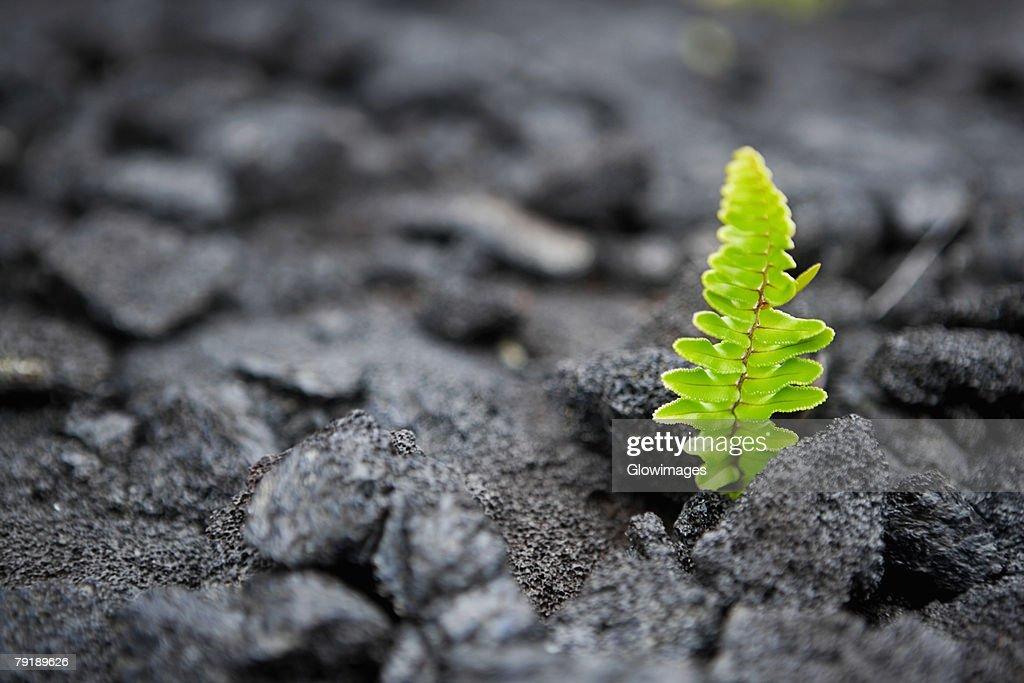 Plants on a rock, Kalapana, Hawaii Islands, USA : Foto de stock