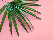 Tropical green leave on pink background. Minimal art design