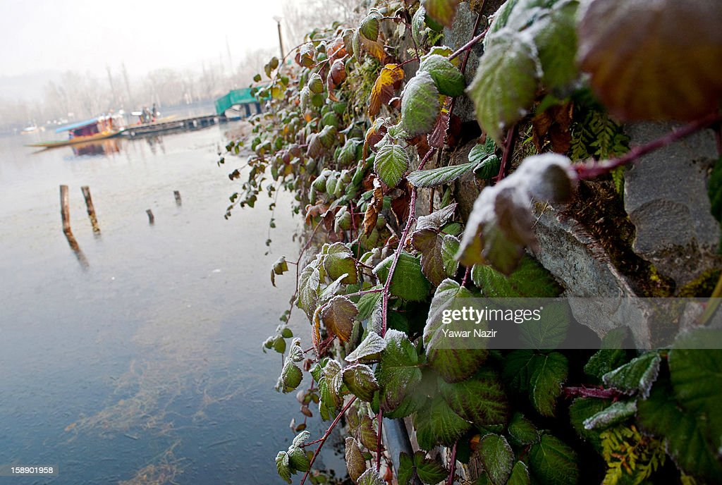 Plants on the banks of Dal Lake covered in frost during a cold morning on January 3, 2013 in Srinagar, the summer capital of Indian administered Kashmir, India. Dal and other lakes often freeze during the harsh Kashmir winter as temperatures drop below freezing.