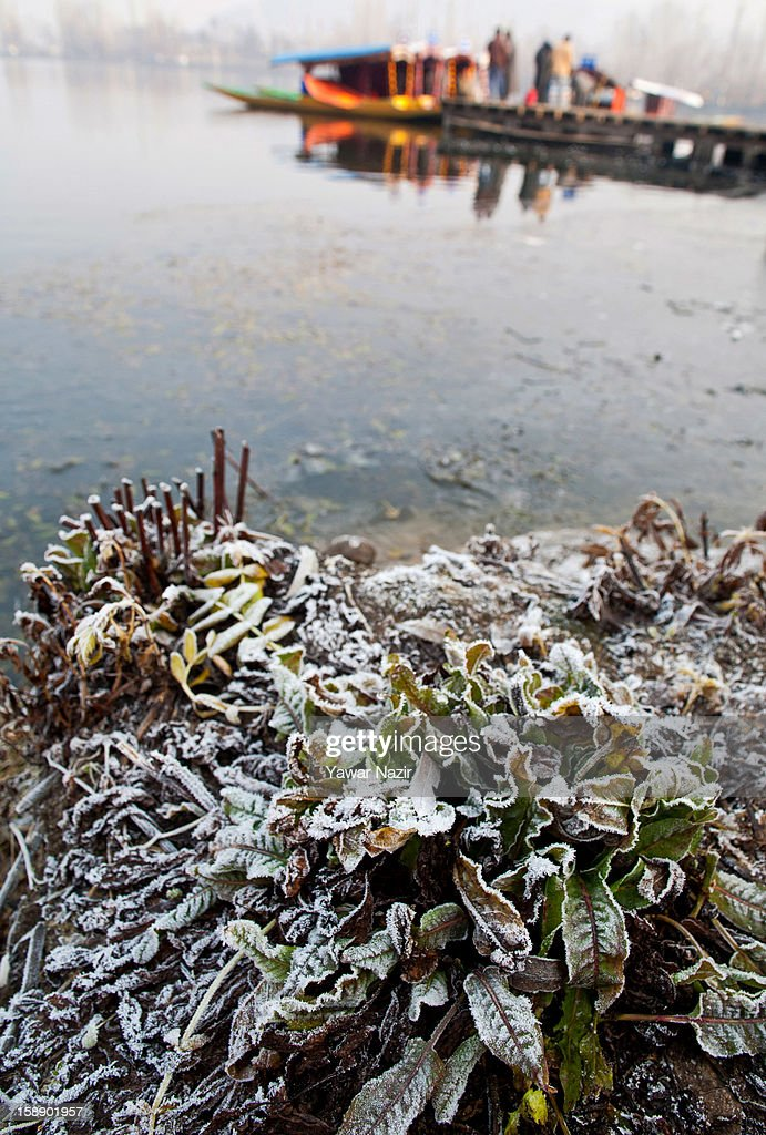 Plants on the banks of the Dal Lake covered in hoar frost during a cold morning on January 3, 2013 in Srinagar, the summer capital of Indian administered Kashmir, India. Dal and other lakes often freeze during the harsh Kashmir winter as temperatures drop below freezing.