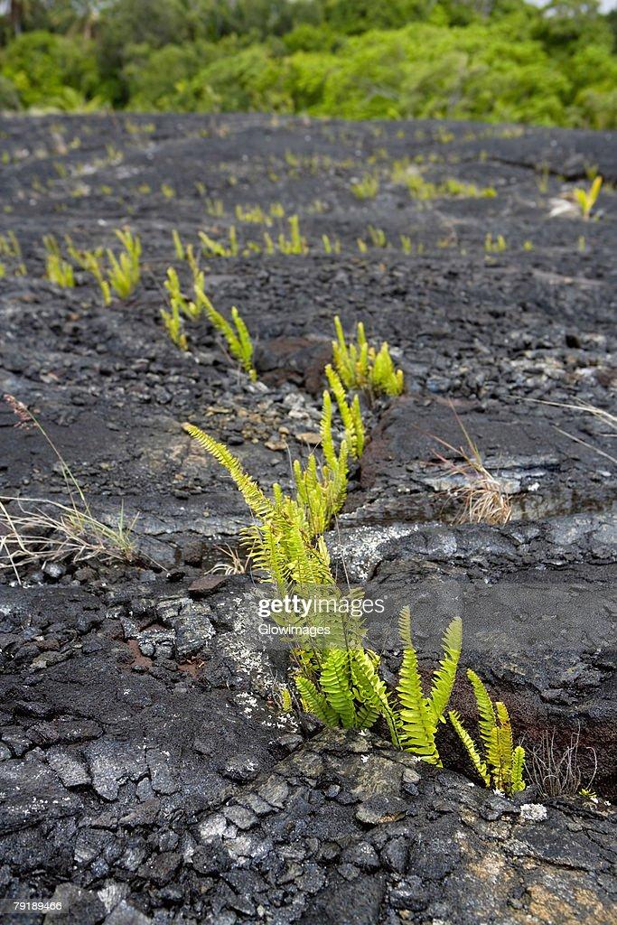 Plants on the rock, Kalapana, Hawaii Islands, USA : Foto de stock