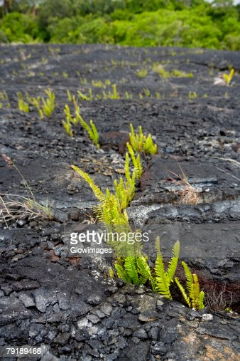 Plants on the rock, Kalapana, Hawaii Islands, USA : Foto de stock