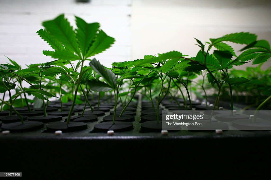 Plants sit in a 'clone room' inside a medical cannabis cultivation facility in Denver, Colorado, U.S., on Monday, March 4, 2013. This is inside a warehouse in Denver, and is one of the facilities that Kristi Kelly, Co-Founder of Good Meds Network, operates.