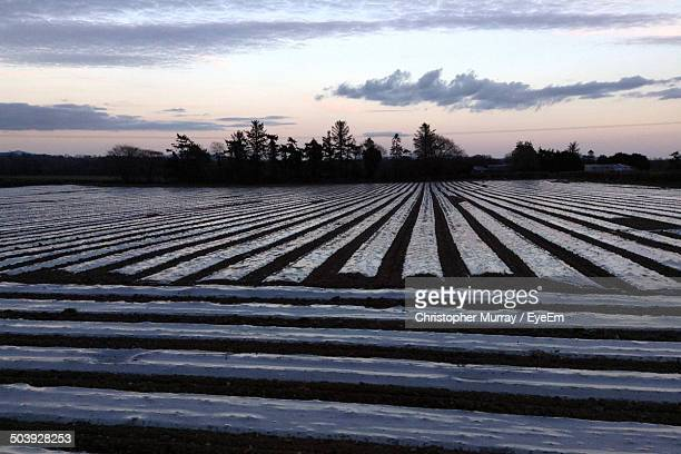 Plastic sheeting in maize field against cloudy sky