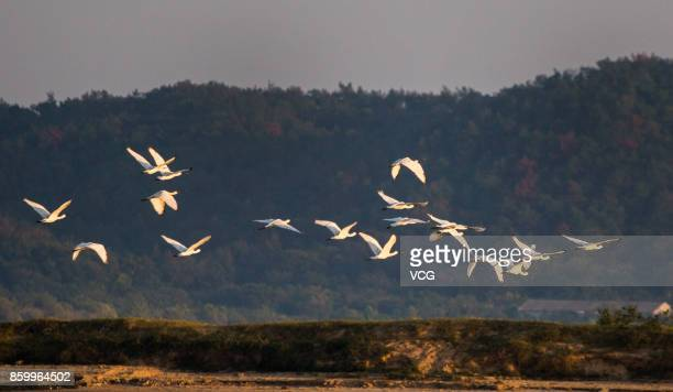 Platalea minors fly at a wetland around the Poyang Lake on October 9 2017 in Jiujiang Jiangxi Province of China A large number of birds including...