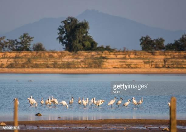 Platalea minors have a rest at a wetland around the Poyang Lake on October 9 2017 in Jiujiang Jiangxi Province of China A large number of birds...
