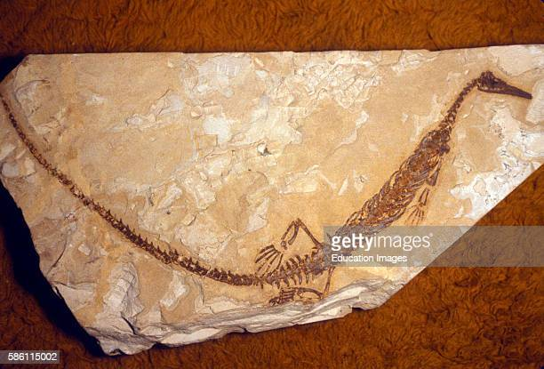 Mesosaurus Brasiliensis Stock Photos and Pictures | Getty ...
