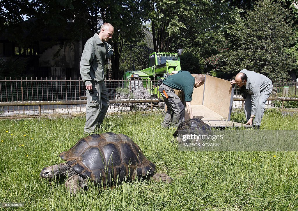 'Platine and Lecata', two giants turtles from the Seychelles, are brought to their summer exterior quarter at the Jardin des Plantes menagerie by vets and employees on May 21, 2010.