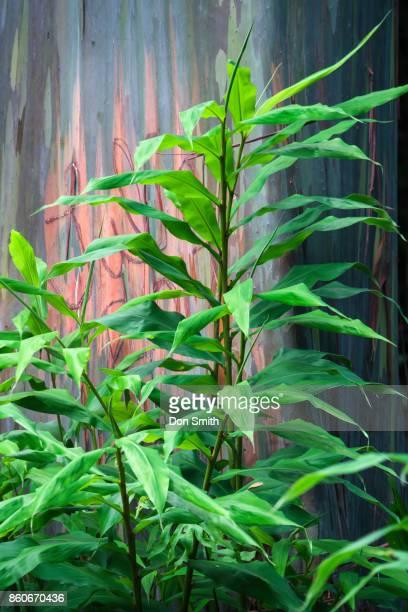 Platycerium Alcicome and Rainbow Eucalyptus