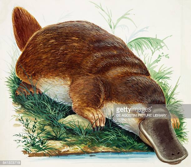 Platypus or Duckbilled platypus Ornithorhynchidae drawing
