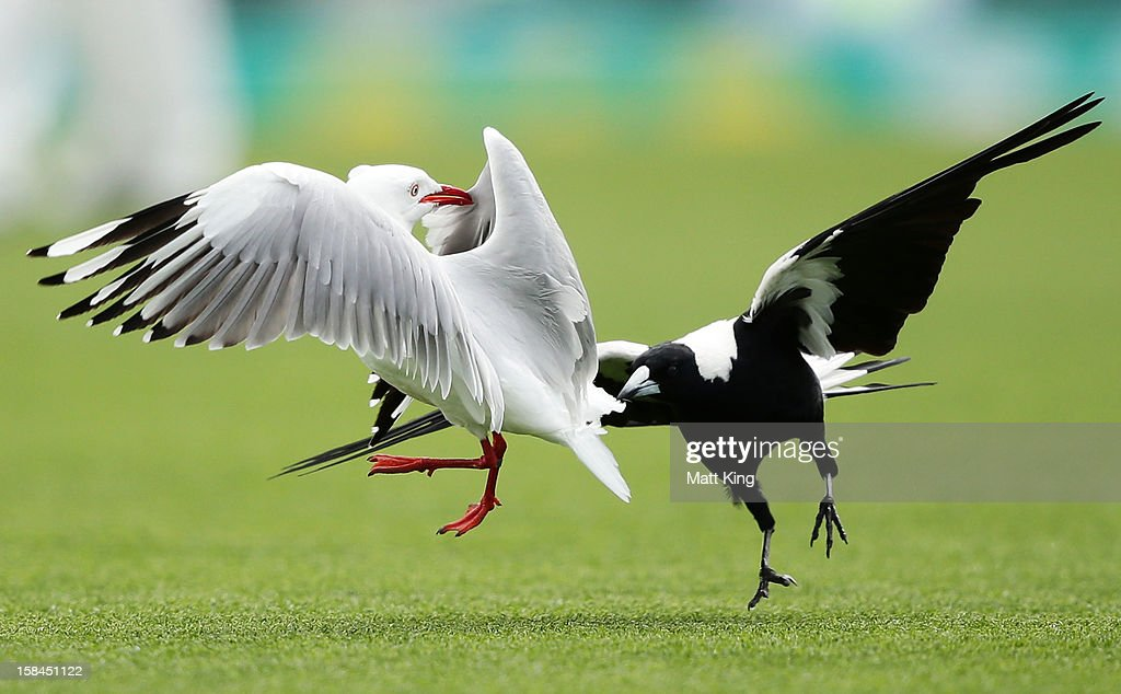 Play is interrupted as a magpie and a seagull tussle during day four of the First Test match between Australia and Sri Lanka at Blundstone Arena on December 17, 2012 in Hobart, Australia.