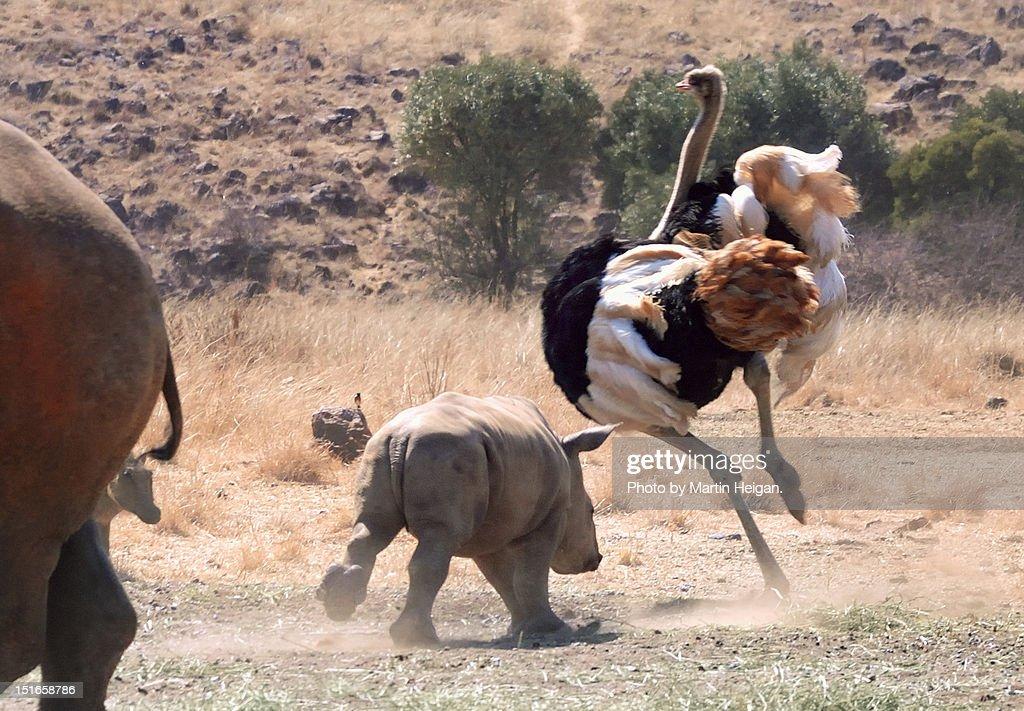 Playful baby Rhino : Stock Photo