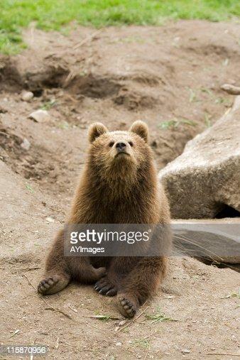 Playful bear cub (Ursus arctos)