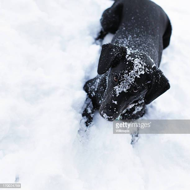 Playful Black Dog in Snow