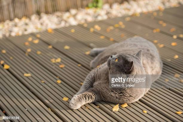 Playful British Short Hair cat lying on garden deck with autumn leaves