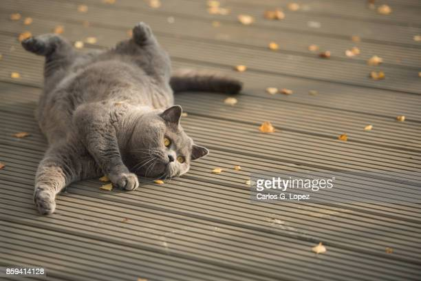 Playful British Short Hair cat rolling on garden deck with autumn leaves