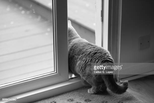 Playful British Short Hair cat standing halfway between bedroom and garden on patio door