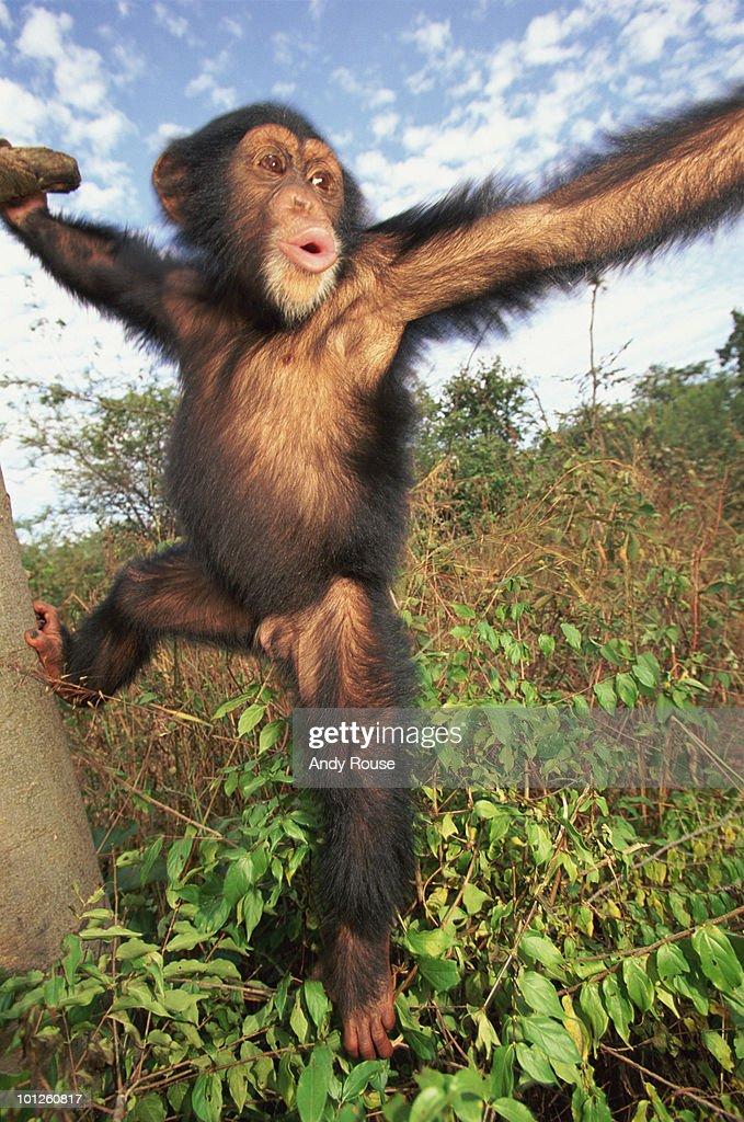Playful chimpanzee : Stock Photo