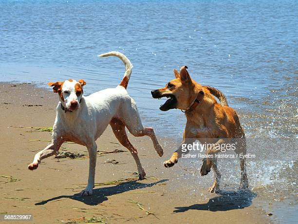 Playful Dogs Running On Beach