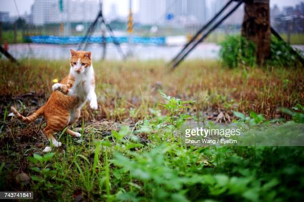 Playful Ginger Cat Standing On Hind Legs At Field